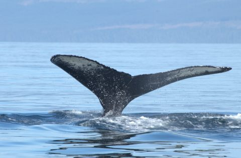 The markings on the underside of flukes can help researchers identify individual whales. Photo: Dale Mitchell