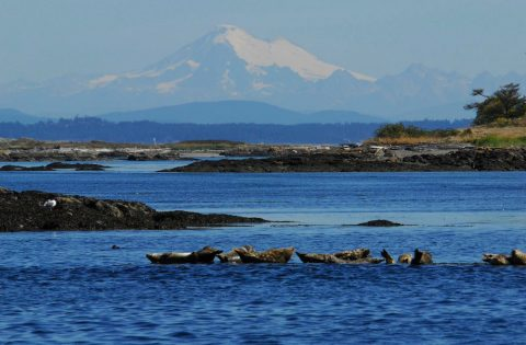 harbour Seals and Mt Baker in background