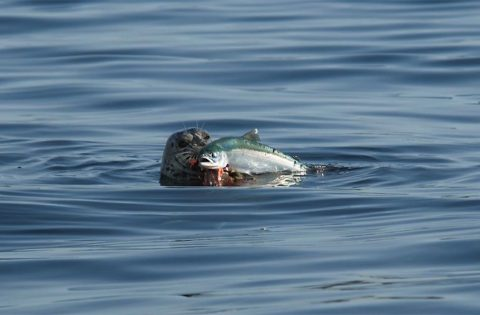 harbour seal caught lunch