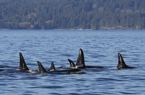 killer whales draft one another to coserve energy when travelling great distances - photo Valerie Shore