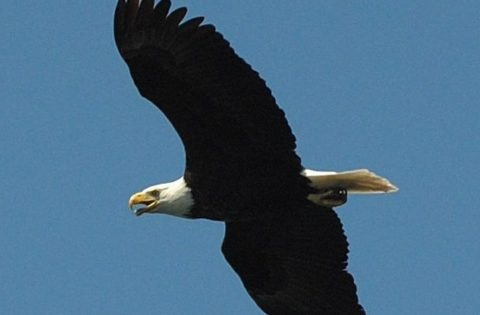 Bald Eagle in full flight - photo Valerie Shore