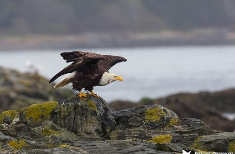 Bald Eagle about to take flight