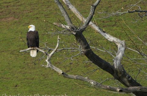 Bald Eagle in a tree top: frequently seen on our tours.