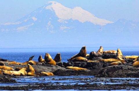 Steeler Sea Lions with Mount baker in the background