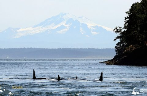 Orca on whale researcher tour