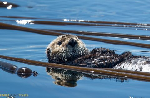 Sea Otter whale researcher tour