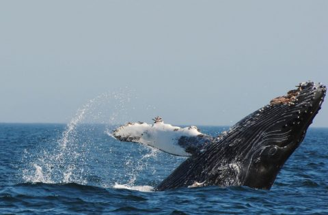 HUmpbakc whale breaching off Victoria with Eagle WingTours