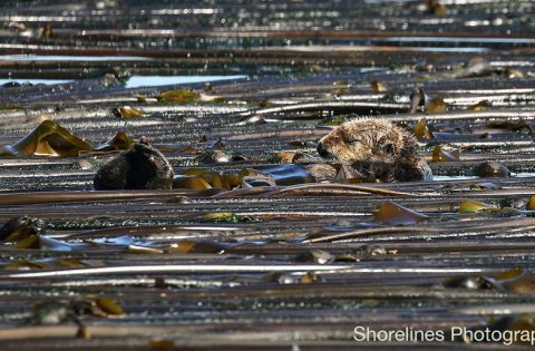 This is what a sea otter looks like when it's sleeping.