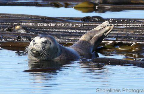 Pacific Harbour Seal floating on some Bull Kelp Seaweed