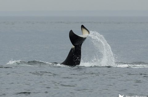 Orca tail flip: a hunting technique for mammal eating orca whales