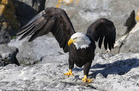 Bald Eagle dancing