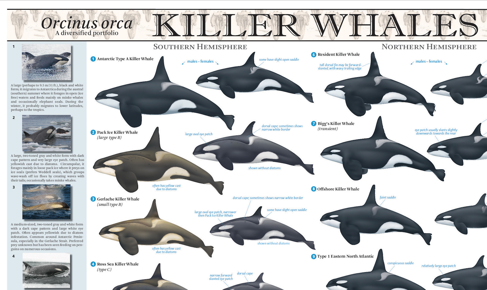 Why are there so many different types of killer whales?\