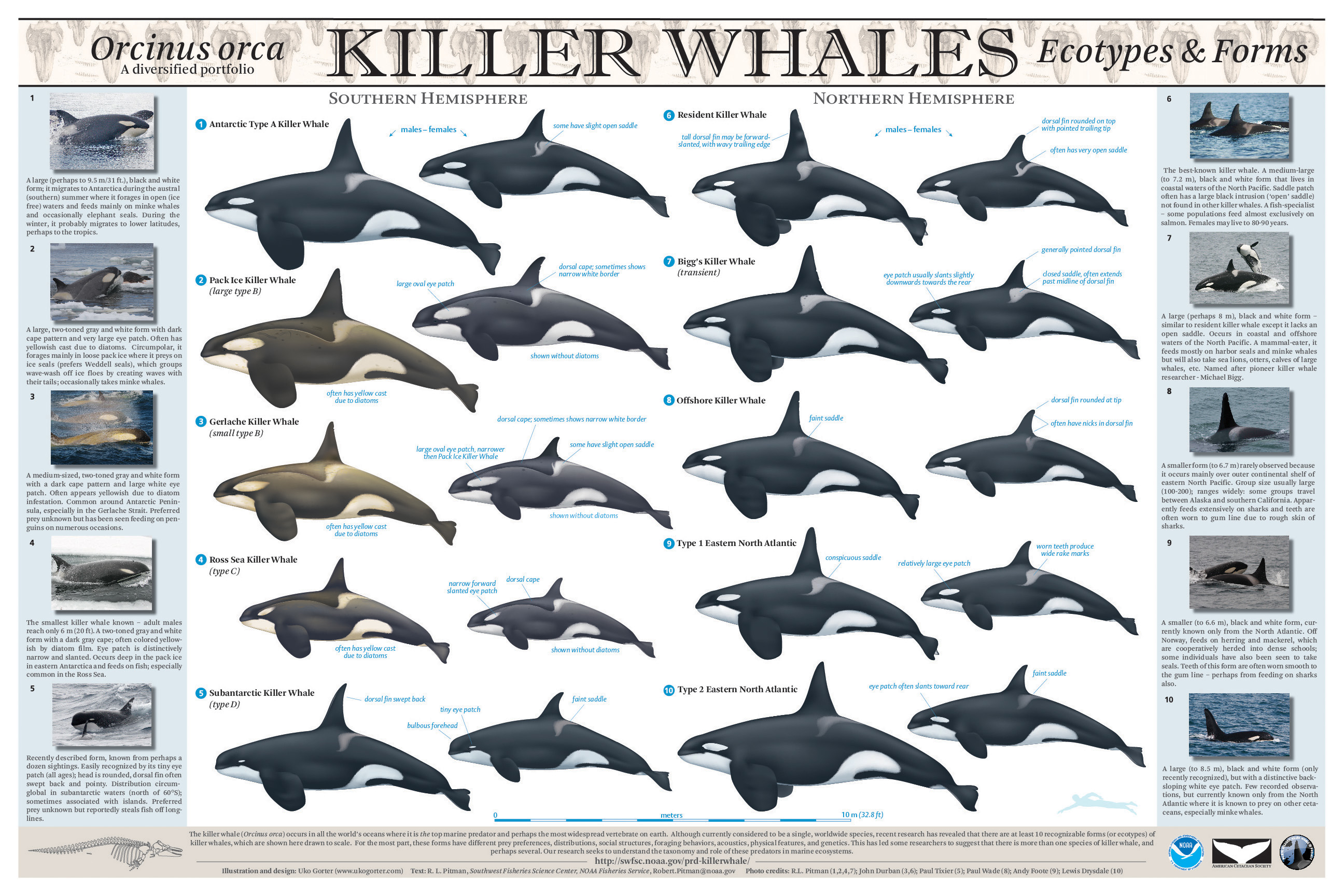 Uko Gorter Killer Whale eco-types