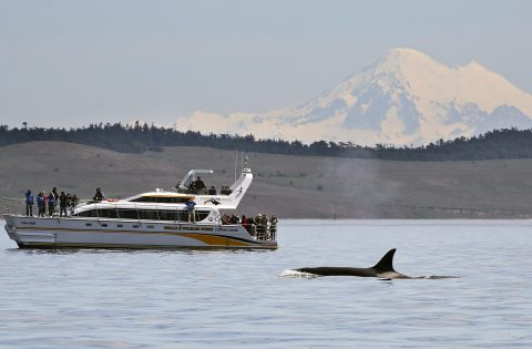 4 Ever Wild tour boat with orca and Mount Baker WA