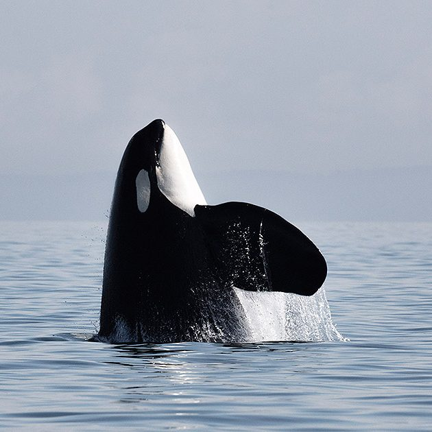 Orca breaching the surface