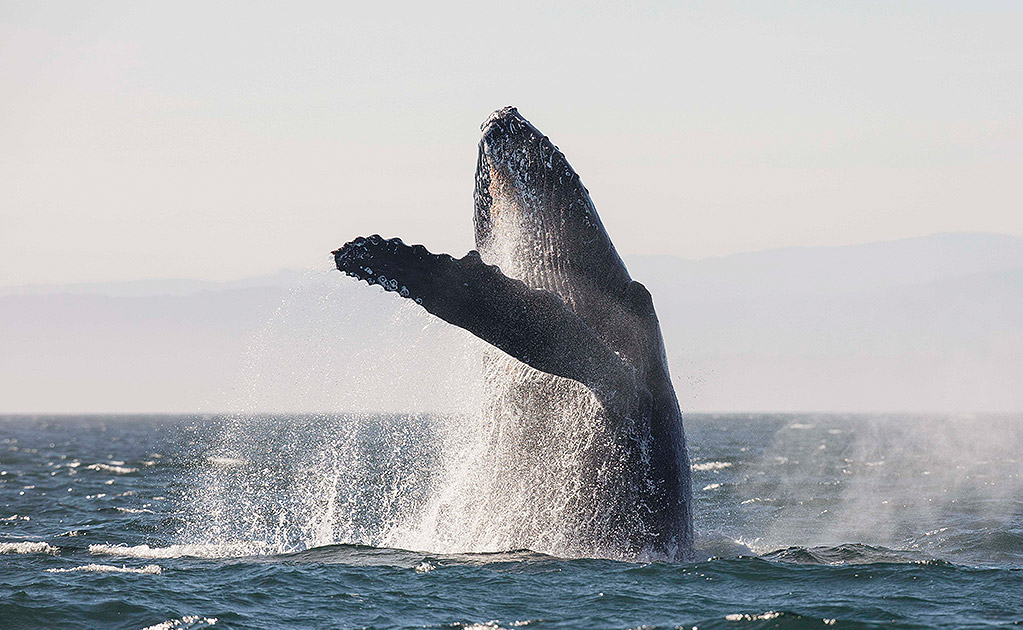 Whale breaching the surface
