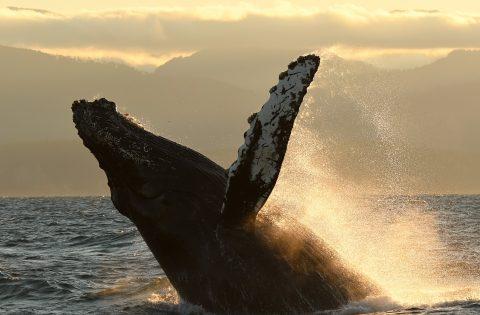 Breaching Humpback sunset