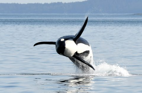 Breaching orca